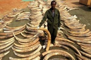Se calcula que unos 250 elefantes han muerto por este cargamento equivalente a más de un millón de dólares.