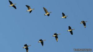 140403172022_birds_in_v_formation_304x171_thinkstock