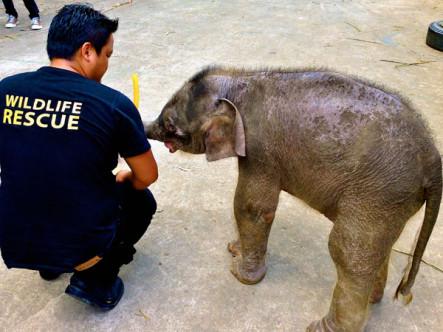 Envenenan a catorce elefantes pigmeo