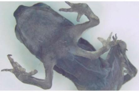 Plaga de sapos mutantes se propaga por el noreste de Australia