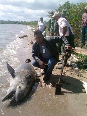 Matan delfines y manatíes en Sabana de la Mar
