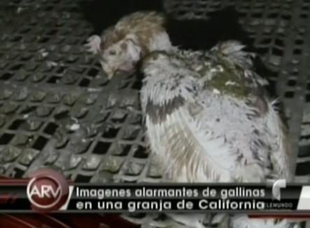 Imágenes Fuertes. Difunden videos en las redes sociales de granja de pollos que muestra la dura verdad que viven estos animales