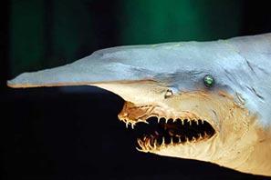 Tuburon Duende