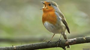 canto de aves