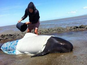 Salvan a ocho de las 13 ballenas varadas en Nueva Zelanda