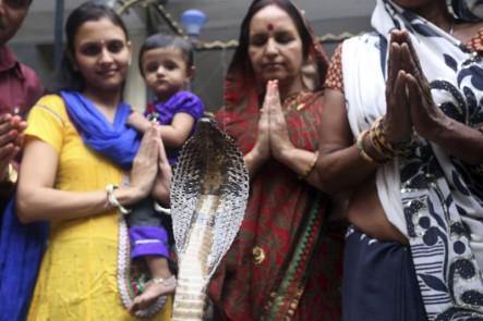 Devotos Ofrecen Leche A Una Cobra En La India.#Fotos