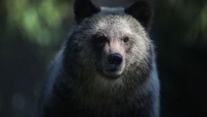 oso-pardo