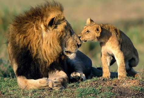 Advierten sobre peligro de extinción del león