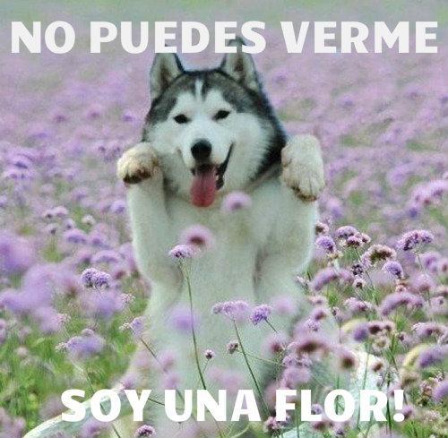 tu-no-puedes-verme-soy-una-flor-husky-perro-perrito-bonito-chistoso-divertido