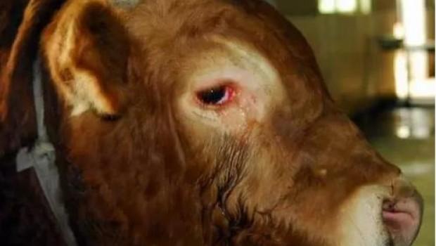 Llora por su vida un toro en el matadero