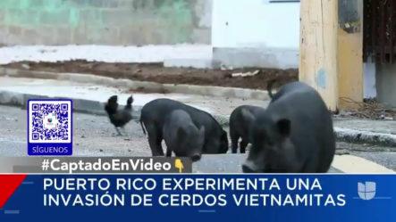 Cerdos Sueltos, La Nueva Plaga Que Azota Las Calles De Puerto Rico.