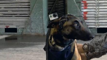 El Riguroso Entrenamiento De Los Perros Paracaidistas En El Ejercito De Colombia