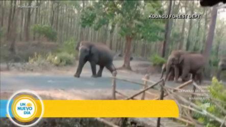 Debido A La Cuarentena Varios Elefantes Se Apoderan De Las Calles