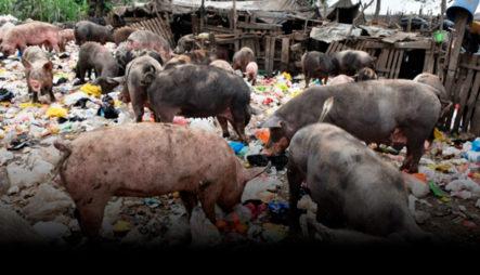 Cerdos Son Criados En Vertedero Para Luego Ser Comercializados En El País