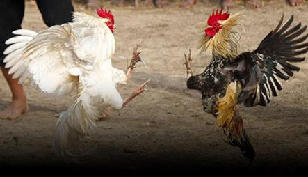 Autoridades Permiten Jugadas De Gallos Clandestinas A Cambio De Peajes En Fincas De Azua