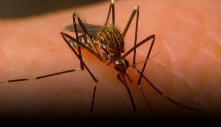 Detectan Una Nueva Especie De Mosquito Transmisor De Virus En RD Que Causa Varias Infecciones
