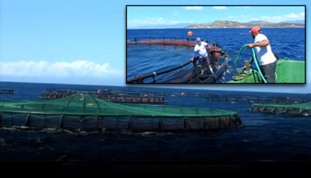 Buscan Fomentar La Producción Y Exportación De Tilapias Criadas En Jaulas Flotantes En El País