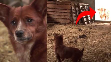 Perro Llora Al Ser Separado De La Vaca Que Lo Crió; (no Creerás Lo Que Pasa Después)